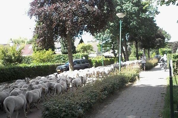 sg18-schapen-door-de-straatBFD9E8D9-3E4F-CB6F-B995-D0DE84E95DBF.jpg